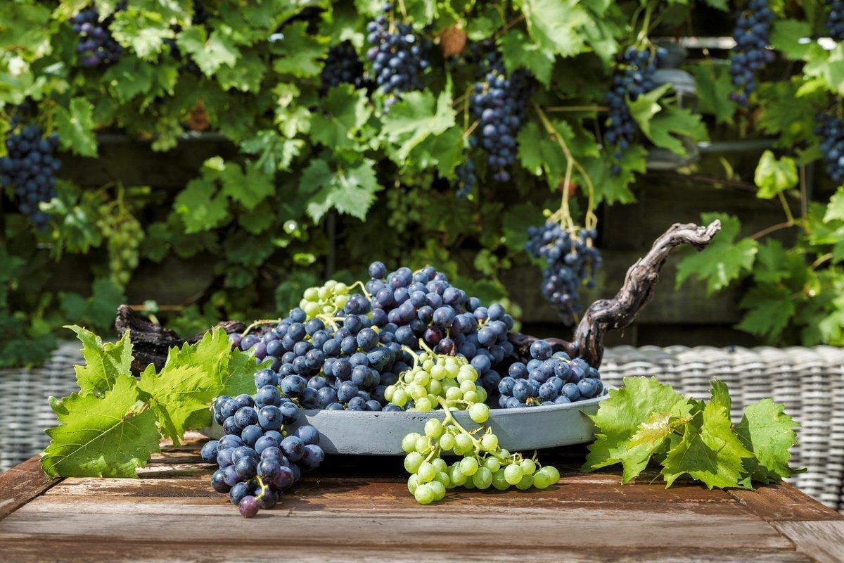 Як правильно обрізати виноград восени, щоб отримати щедрий урожай наступного року